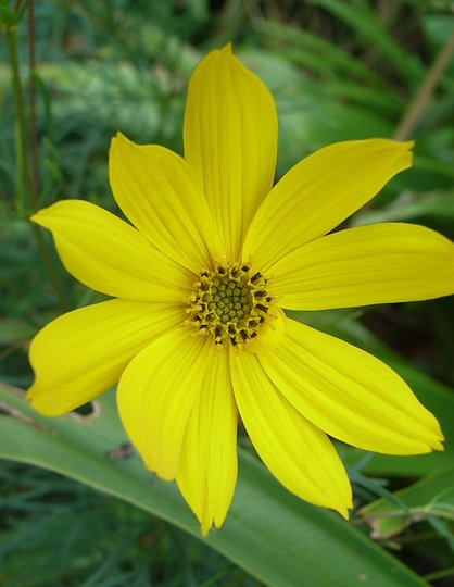 Coreopis grandiflora (Coreopis grandiflora)