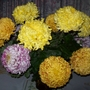Chrysanthemums from the Allotment