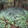 Vinca_major_in_the_forest