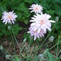 Crepis incana (Crepis incana)