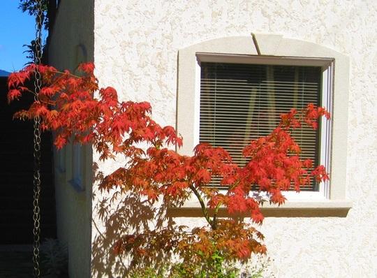 Acer Palmatum - 'Osakazuki'