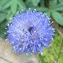 Jasione_laevis_blue_light_