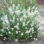 Lavandula angustifolia 'Nana Alba' (Lavandula angustifolia)