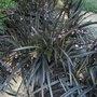 A garden flower photo (Ophiopogon planiscapus nigrescens)