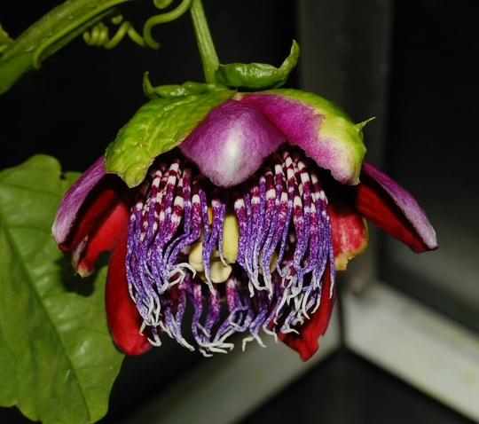 Passiflora alata (passiflora alata)