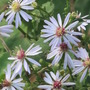 A field full of these..and solidago (Aster macrophyllus)