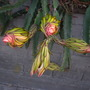 Hylocereus undatus -  Dragon Fruit, Pitaya Buds (Hylocereus undatus -  Dragon Fruit, Pitaya)