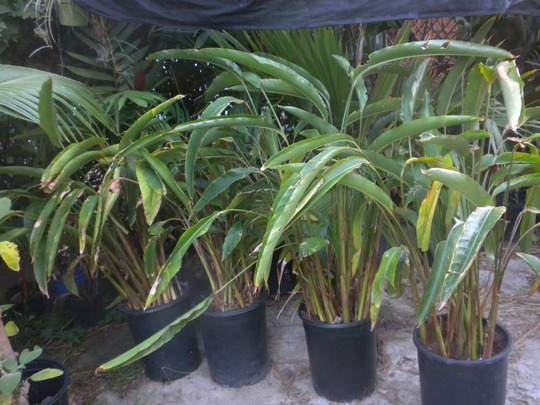 Heliconia stricta 'Dwarf Jamaican'   (Heliconia stricta 'Dwarf Jamaican')