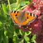 Insects on sedum