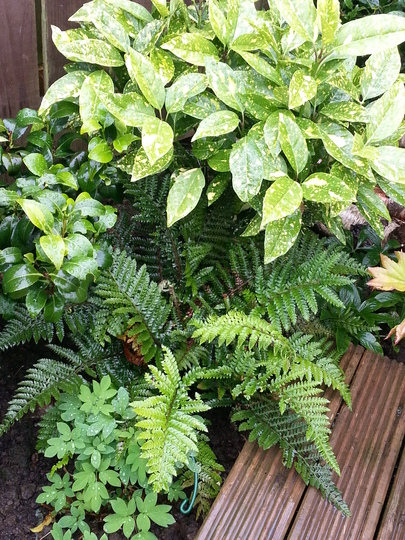 Dryopteris affinis Cristata (The King) (Dryopteris affinis Cristata (The King))