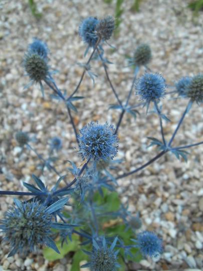 Sea holly (Eryngium planum 'Blaukappe')