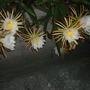 Hylocereus undatus -  Dragon Fruit, Pitaya Flowering (Hylocereus undatus -  Dragon Fruit, Pitaya)
