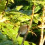 Shy Robin likes to hide in the Mahonia .