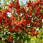Food for birds in winter-Pyracantha angustifolia  (Pyracantha angustifolia)