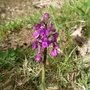 Purple wild orchid April 2012