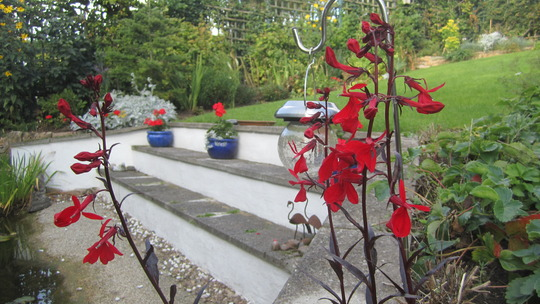 Lobelia Queen Victoria (Lobelia cardinalis (Cardinal flower))