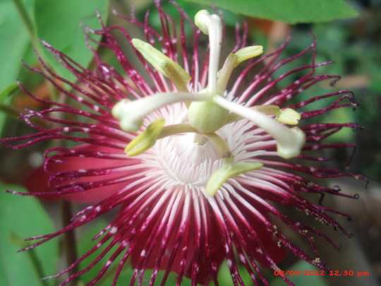 my dark pink passion flower