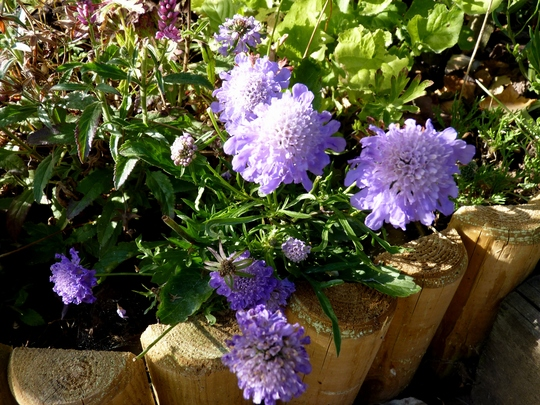 Scabious 'Ritz Blue'...just for my records.
