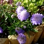 Scabious 'Ritz Blue'...just for my records. (Scabiosa japonica alpina)