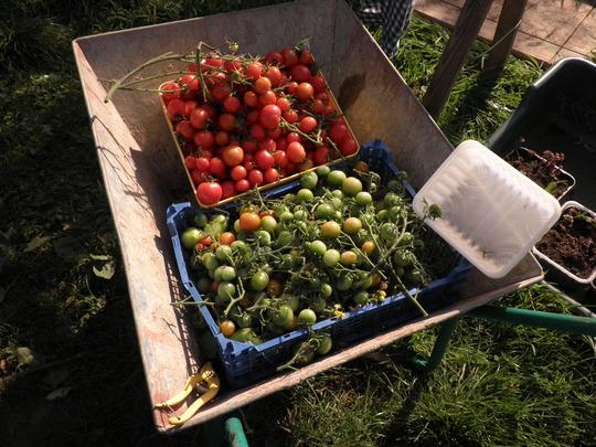 Tomatoes anyone?