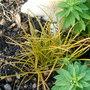 Carex Testacea (Carex Testacea)