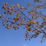 Amelanchier_ballerina_autumn_foliage_2012