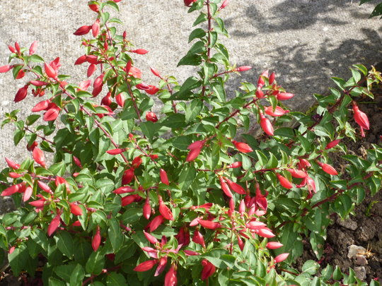 fucshia red hot chilli, new one for me this year, doing well tho!