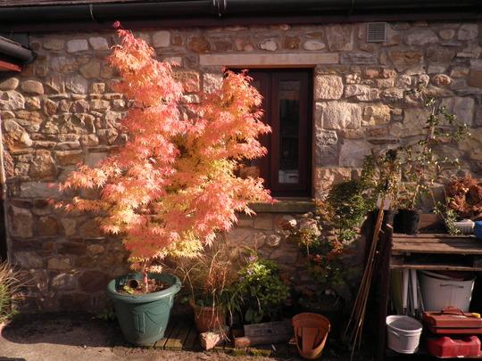 Beautiful things (Acer palmatum (Japanese maple))