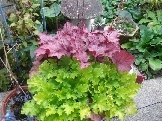 Heuchera 'Georgia' Peach & Lime Rickey