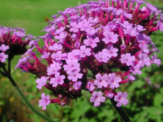 Verbena bonariensis  (Verbena bonariensis)