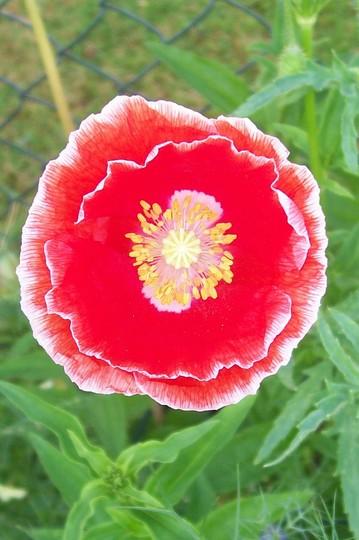 2_7_16.jpg (Papaver rhoeas (Corn poppy))