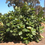 Ficus trichopoda - Swamp, Hippo Fig (Ficus trichopoda - Swamp, Hippo Fig)