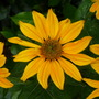 Rudbeckia ' Irish Mist '