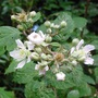 Cimg8160bramble_flowers