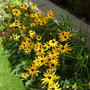 Rudbeckias and french marigolds