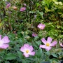 Cistus 'Greyswood Pink'