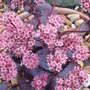 Sedum telephium Purple Emperor (Sedum telephium (Atropurpureum Group) 'Purple Emperor')