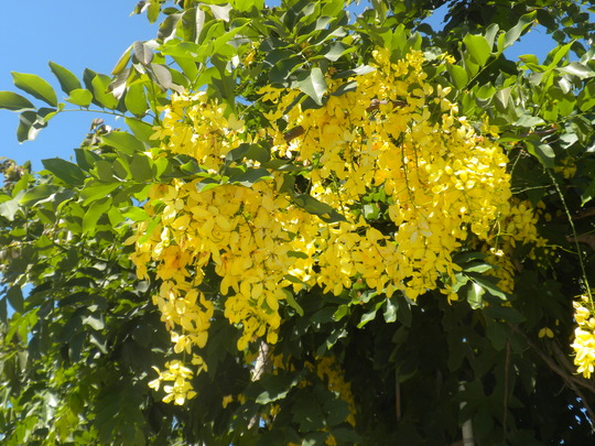 Cassia fistula  - Golden Shower Tree in San Diego, CA. (Cassia fistula  - Golden Shower Tree)