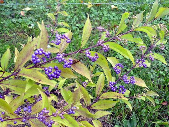 Callicarpa bodnieri 'Profusion' (Callicarpa bodinieri (Bodinier beautyberry))