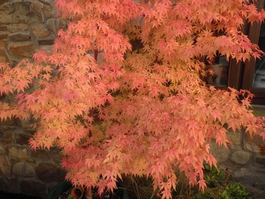 Red, Orange, Pink,  (Acer palmatum (Japanese maple))