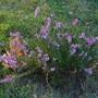Calluna vulgaris in fall evening mood