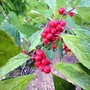 Ilex verticillata 'Winter Red' (Ilex verticillata (Aliso Negro))