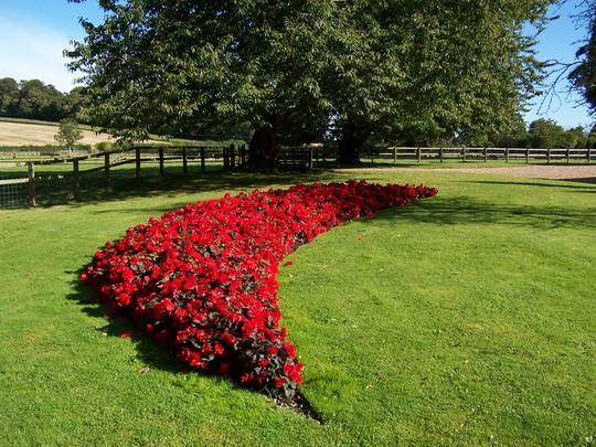 Begonia Mocha Scarlet