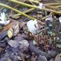 Cyclamen_hederifolium_alba_2012