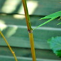 Bamboo canes changing colour now.... (Phyllostachys aureosulcata (Yellow-groove bamboo)Spectablis)