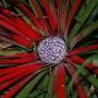 Fascicularia Bicolor (Fascicularia Bicolor.)