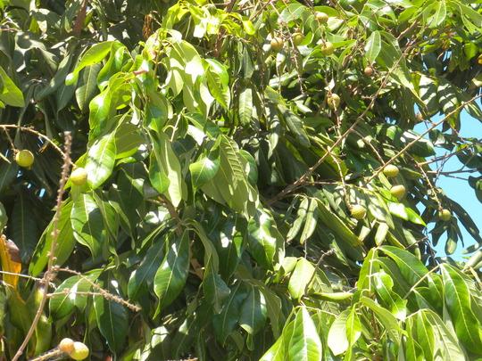 Dimocarpus longan - Longan, Dragon's Eye Fruit (Dimocarpus longan - Longan, Dragon's Eye Fruit)