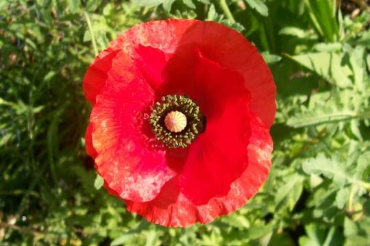 29_6_15.jpg (Papaver rhoeas (Corn poppy))