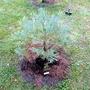 Sequoiadendron giganteum 'Hazel Smith' (Sequoiadendron giganteum (Giant redwood))