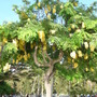 Cassia fistula - Golden Shower Tree flowering in Honolulu, Hawai'i (Cassia fistula - Golden Shower Tree)
